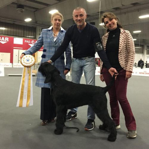 Ariel Pluri campionessa femmina Riesenschnauzer